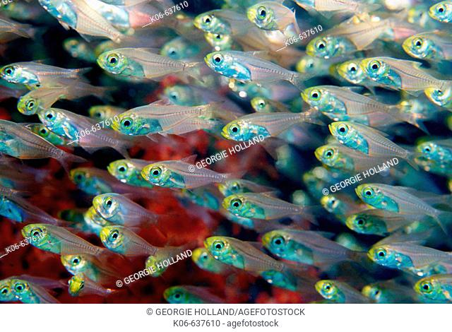 Pygmy sweepers (Parapriacanthus ransonneti). Andaman Sea, Thailand