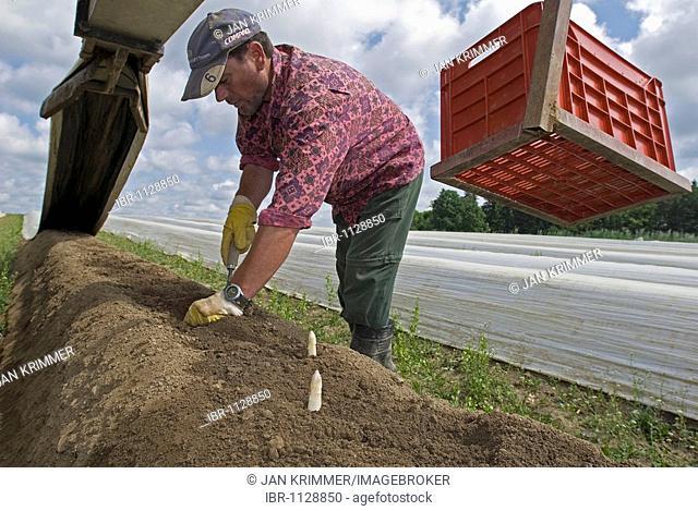 Man harvesting asparagus, Poigern, Bavaria, Germany, Europe