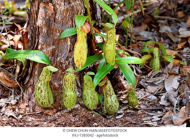 Pitcher Plant, Nepenthes xkuchingensis, Borneo