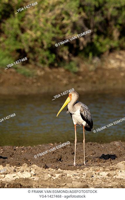 Yellow-billed Stork Mycteria Ibis   Mashatu Game Reserve  Tuli block, Botswana  November 2010