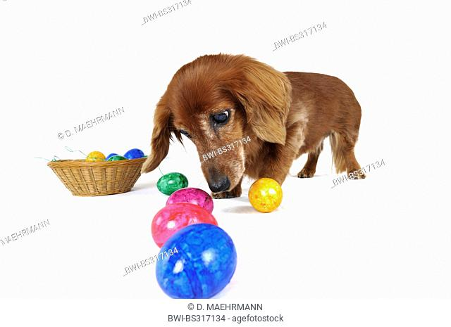 Long-haired Dachshund, Long-haired sausage dog, domestic dog (Canis lupus f. familiaris), sceptical female dog eying up colored easter eggs in a row, Germany