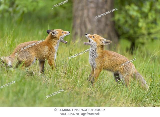 Red Fox, vulpes vulpes, Two Young Foxes Fighting, Germany, Europe