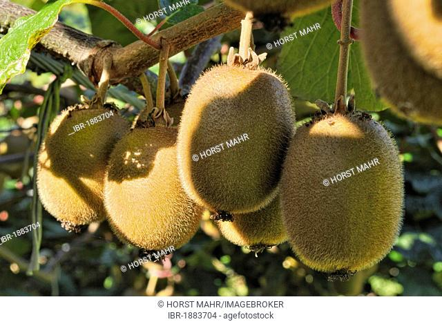Kiwi fruits (Actinidia deliciosa) growing on shrub, Coromandel Peninsula, North Island, New Zealand