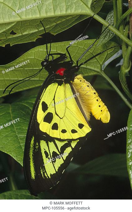 POSEIDON BIRDWING BUTTERFLY (Ornithoptera priamus poseidon), MALE, IRIAN JAYA, NEW GUINEA, INDONESIA