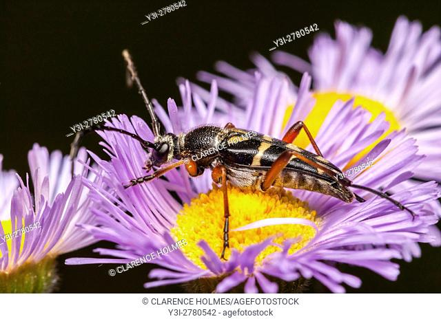 An adult Zebra Longhorn (Typocerus zebra) beetle perches on a violet fleabane flower in search of nectar