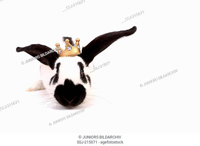 German Giant Rabbit seen head-on, wearing a crown on its head. Studio picture against a white background. Germany