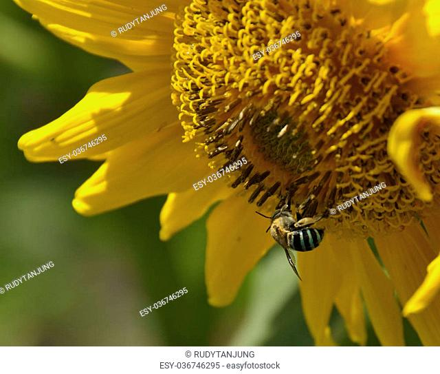 Macro picture of bee on a sunflower