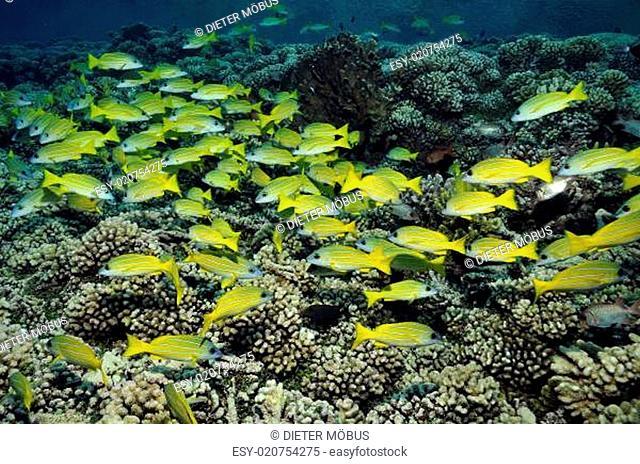 Blaustreifenschnapper im Korallenriff