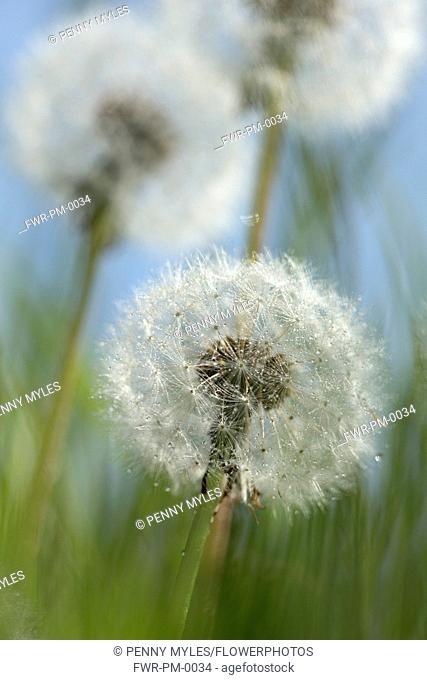 Dandelion,Taraxacum officinale, Three dandelion clocks in grass against blue sky