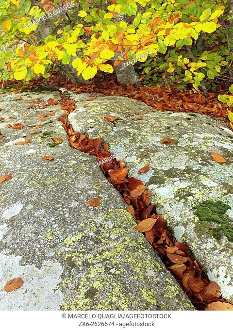 Granite rock and autumn beech leaves (Fagus sylvatica). Montseny Natural Park. Barcelona province, Catalonia, Spain