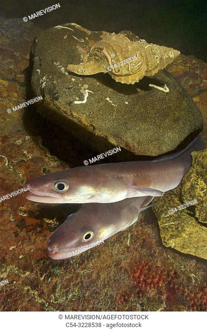Deep sea. Conger eel. Juvenile conger. (Conger conger). Eastern Atlantic. Galicia. Spain. Europe