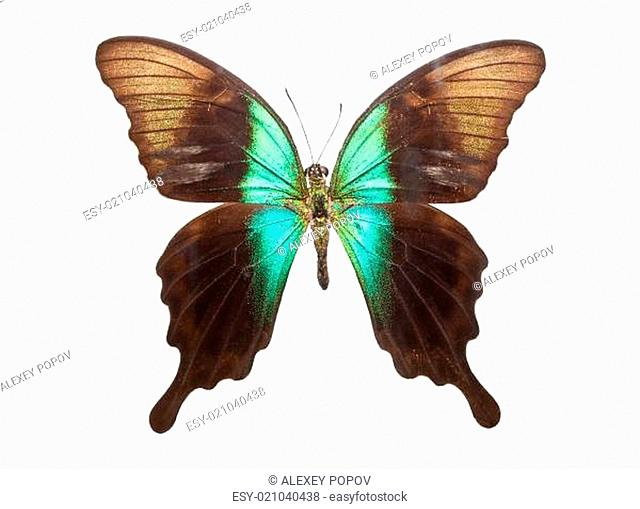 Butterfly Papilio Peranthus