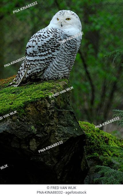 Snowy Owl Nyctea scandiaca - Ouwehands Dierenpark, Rhenen, Utrecht, The Netherlands, Holland, Europe
