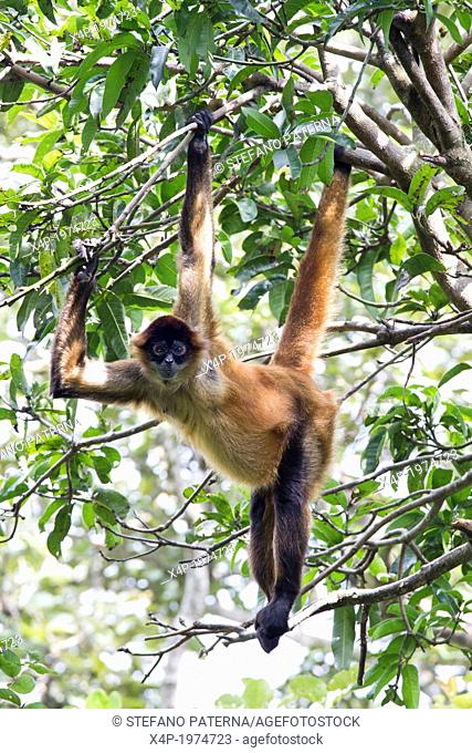 Central American Spider Monkey, Ateles geoffroyi, Costa Rica