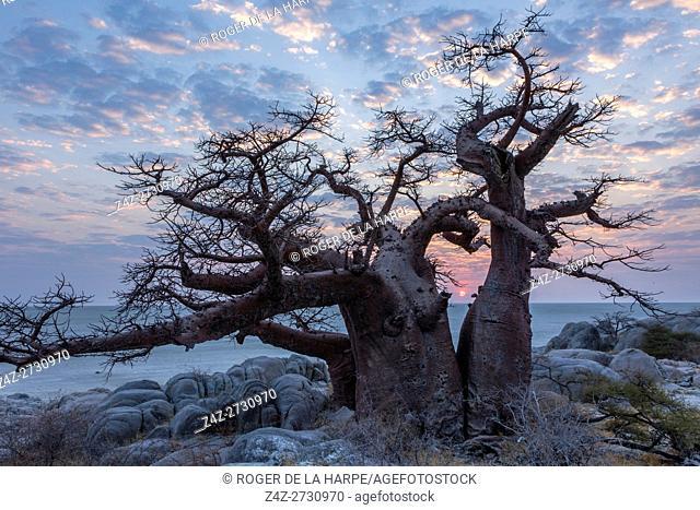 Stunted baobab, dead-rat tree (from the appearance of the fruits), monkey-bread tree upside-down tree or cream of tartar tree (Adansonia digitata)