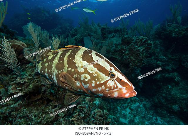 Nassau grouper on coral reef