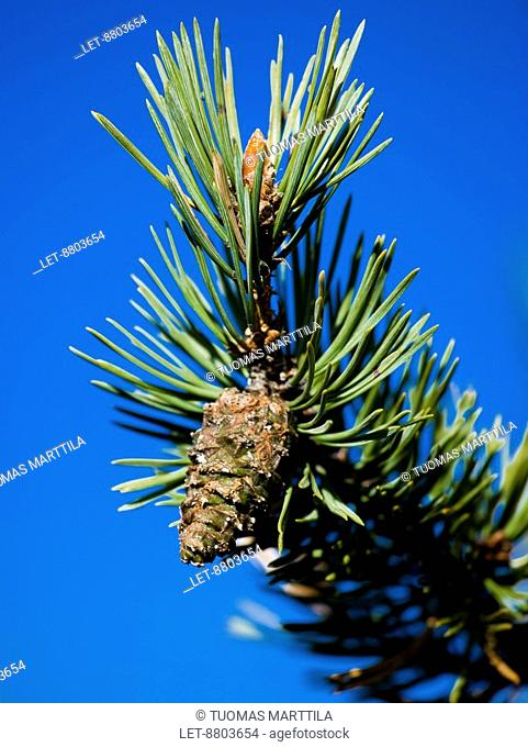 A pine tree Pinus sylvestris and a cone