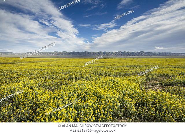 Carrizo Plains National Monument, California. Yellow Goldfields (Lasthenia sp. ) carpeting the plains near Soda Lake