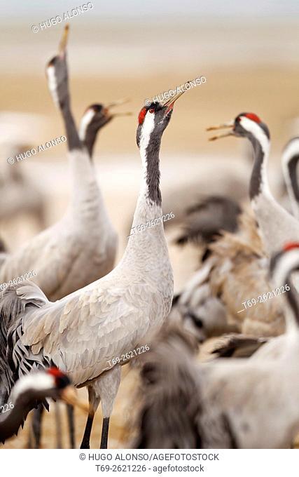 Group of cranes. Gallocanta. Spain