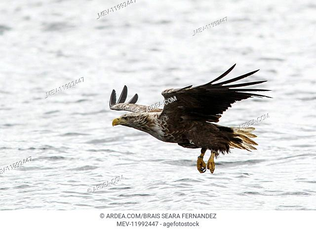 White-Tailed Eagle - fishing - Isle of Mull, Scotland, United Kingdom