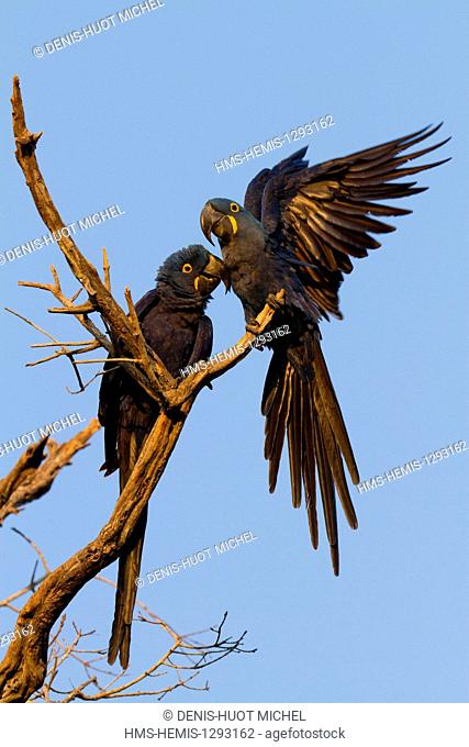 Brazil, Mato Grosso, Pantanal area, listed as World Heritage by UNESCO, Hyacinth Macaw (Anodorhynchus hyacinthinus)
