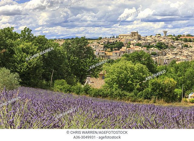 Lavender fields Valensole Forcalquier Alpes-de-Haute-Provence Provence-Alpes-Cote d'Azur France