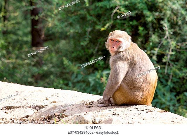 Macaque monkey in Mcleod Ganj, Dharamsala, India