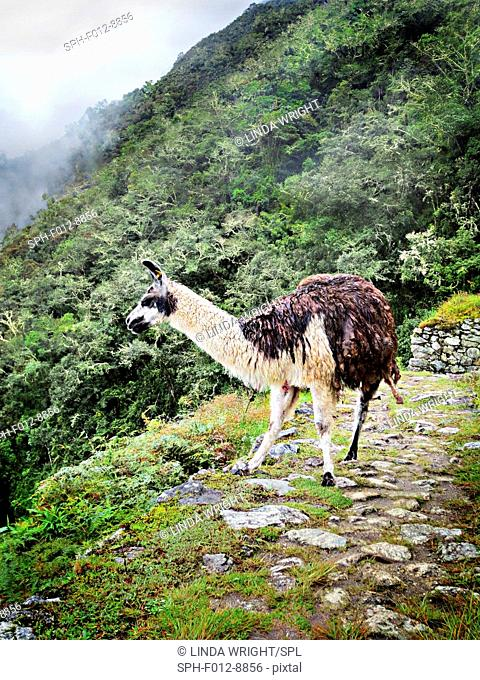 Llama overlooking the countryside on the Inca Trail