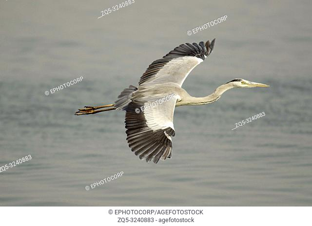Grey heron, Ardea cinerea, Bhigwan, Maharashtra, India