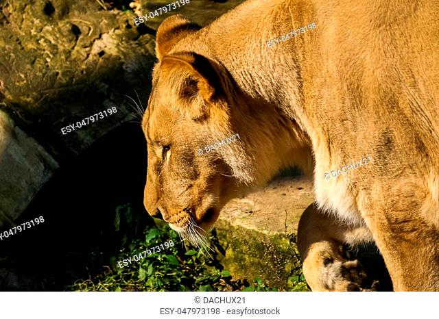 Lions sunbathing in the zoo