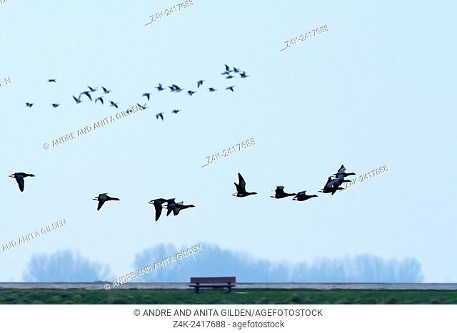 Brent Geese (Branta bernicla) flying in line over a Dutch dike with a bench at dusk