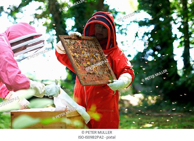 Two beekeepers looking into hive, surrounded by bees