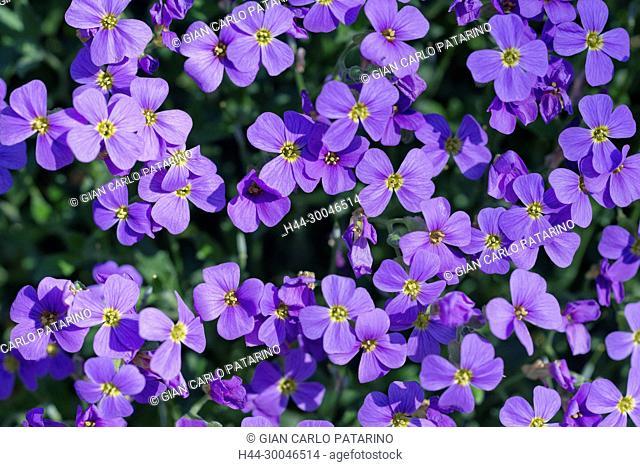 Flowers of Lobelia