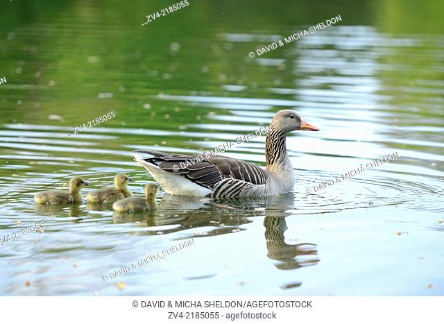 Close-up of Greylag Goose (Anser anser) mother with her chicks swimming in the water in spring
