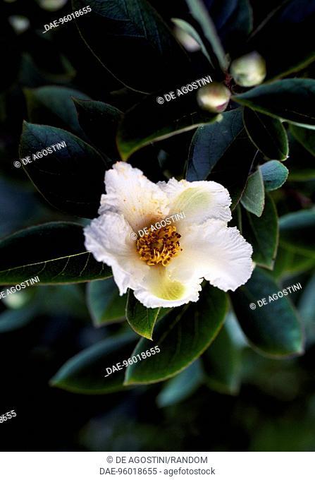 Deciduous Camellia flower (Stewartia pseudocamellia koreana), Theaceae