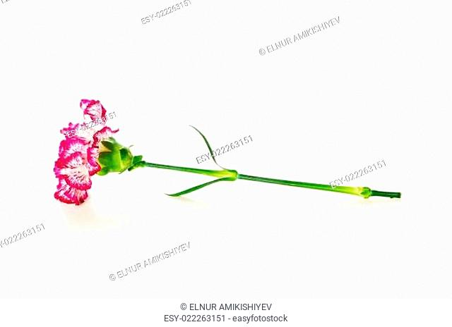 Red carnation isolated on the white background