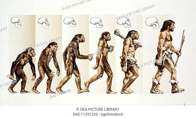 Prehistory - Hominid evolution through time. Drawing