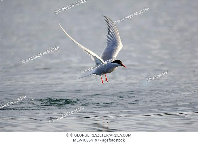 Adult Arctic Tern - in flight (Sterna paradisaea). Wales. July