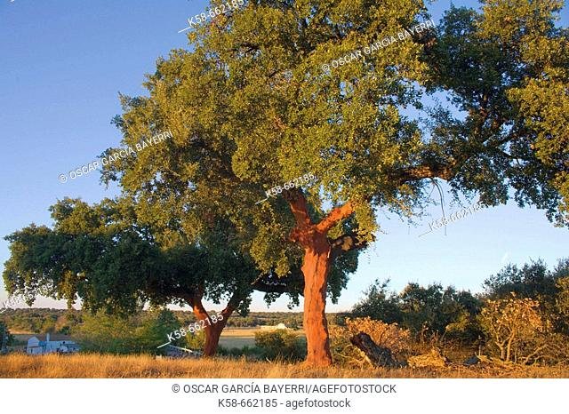 Cork oaks. Caceres province, Extremadura, Spain