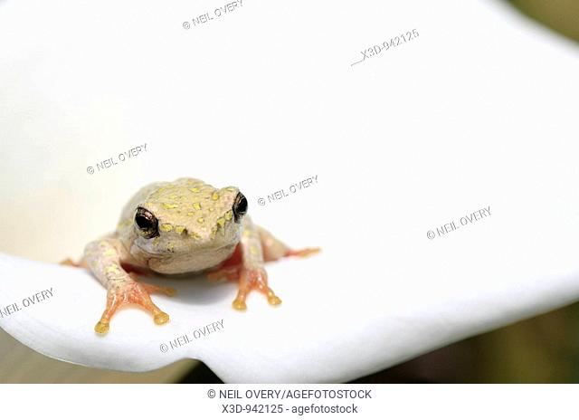 Painted reed frog sitting on Arum lily flower South Africa
