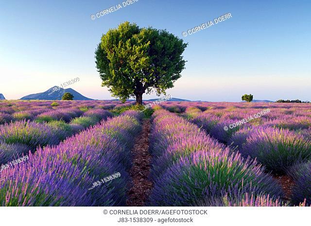 Lavender (Lavendula angustifolia) field with tree. Plateau de Valensole, near the village of Valensole. Alpes-de-Haute-Provence, Provence-Alpes-Cote d'Azur