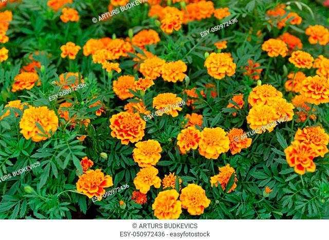 Beautiful yellow marigold flower background at flowers market