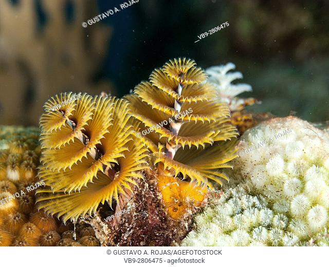 Colorful Christmas Tree Worm, Spirobranchus giganteus, Caribbean Sea, los roques
