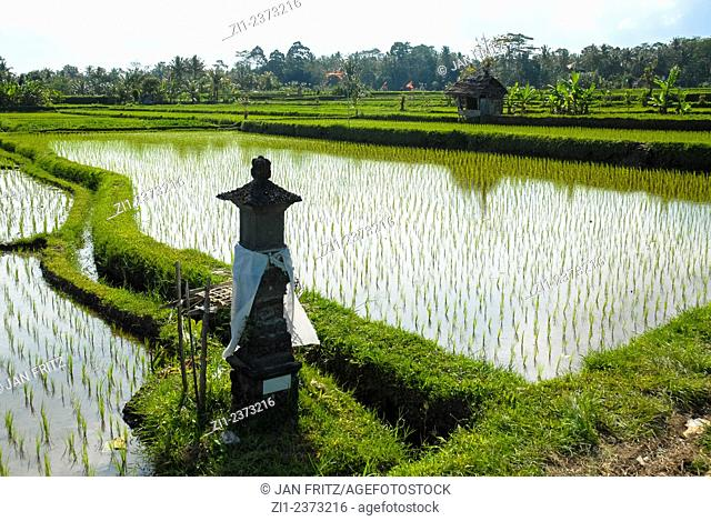 ricefield or paddy in Bali, Indonesia