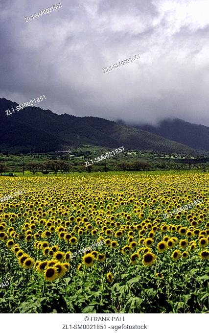 Sunflower fields in Maui, Hawaii. The current sunflower crop is approximately 12 acres of a 115-acre biofuel crop site. Pacific Biodiesel is working to expand...