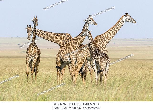 Kenya, Masai-Mara Game Reserve, Girafe masai (Giraffa camelopardalis), troup