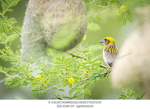 Baya Weaver (Ploceus philippinus), male perched on branch near nest. Rajasthan. India
