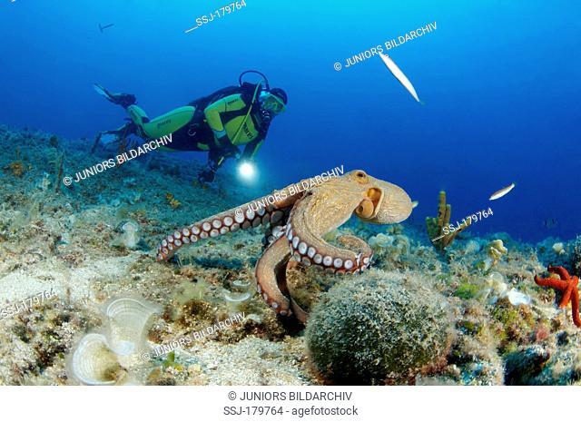 Common Octopus (Octopus vulgaris) with scuba diver. Croatia, Mediterranean Sea, Kornati National Park Park Kornati