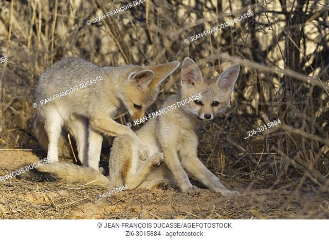 Young Cape foxes (Vulpes chama) at den, early in the morning, Kgalagadi Transfrontier Park, Northern Cape, South Africa, Africa