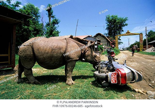 Indian Rhinoceros Rhinoceros unicornis Orphaned baby knocks over moped, Sauraha village, Chitwan National Park, Nepal